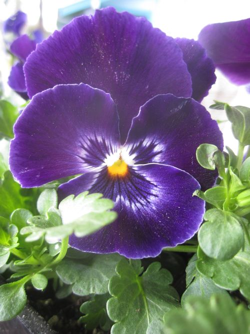 Pansy for kaite