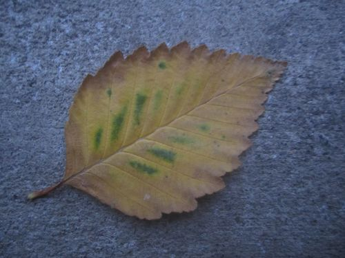 Second leaf