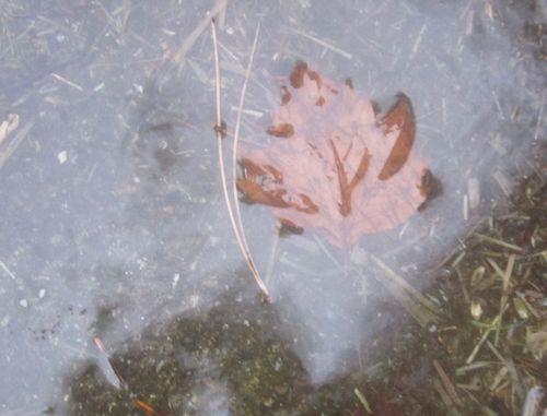 Am leaf