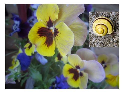 Pansy and snail