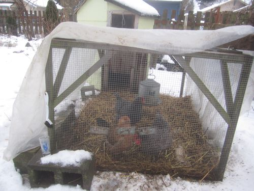 Chickens in snow