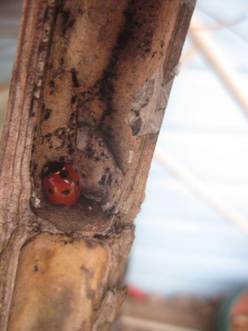 Lady bug shelter