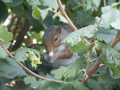 Hazelnut harvester