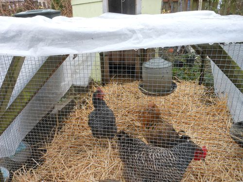 Chickens ready for rain or snow