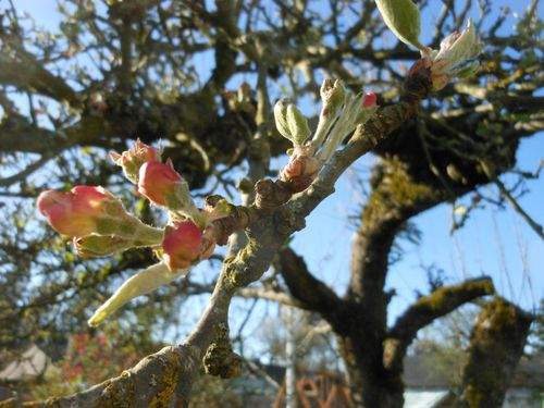 Almost blooming apples