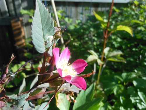 Little wild rose