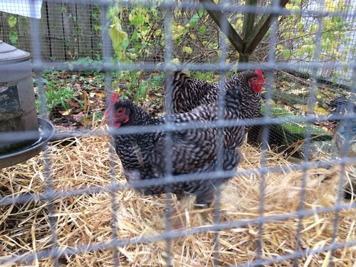 Chickens in the straw