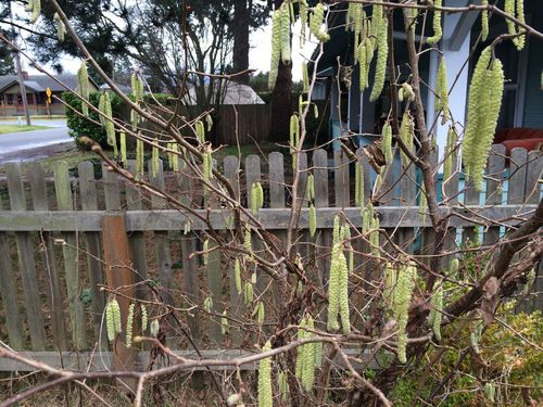 Hazelnuts blooming soon