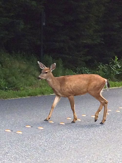 Deer share the road