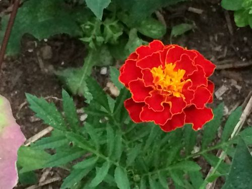 Marigold reseeded
