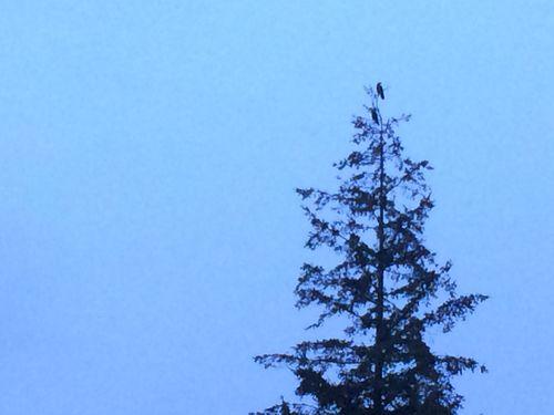 The ravens across the street