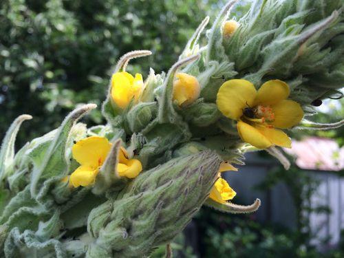 Blooming mullien