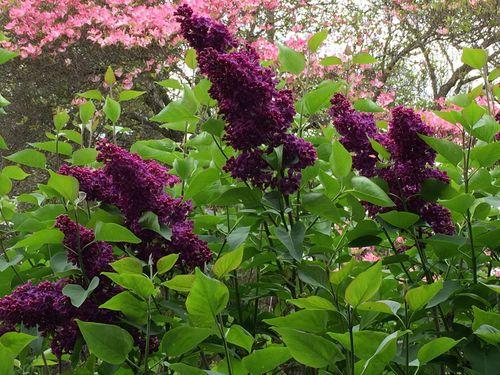 Lilac and dogwood