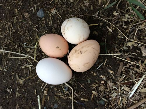 First eggs 2015