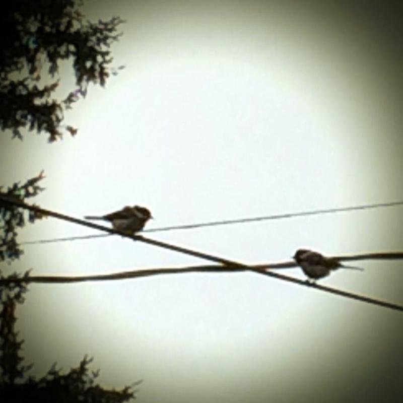 Chickadee conversation