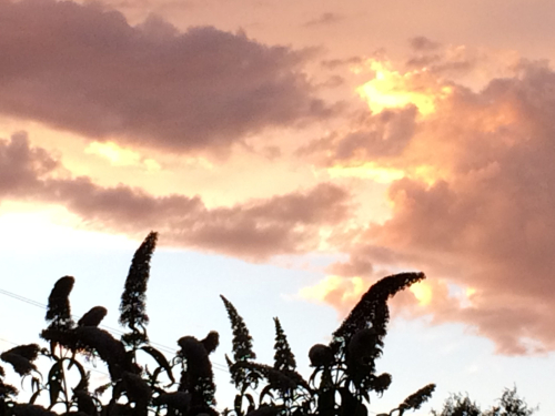 Buddelia and sky