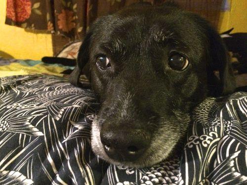 Basset hound briar