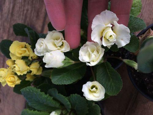 Holding primroses