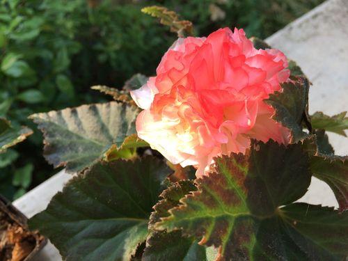 Begonia at dawn
