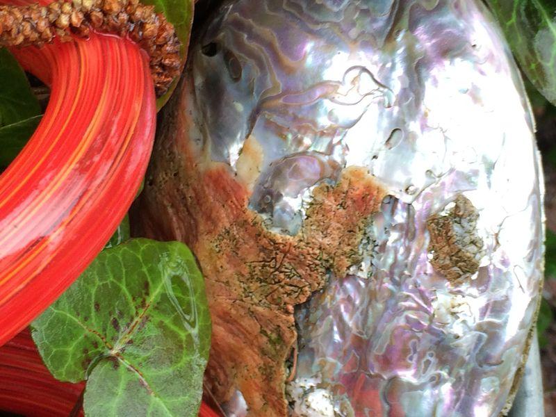 Abalone shell in garden
