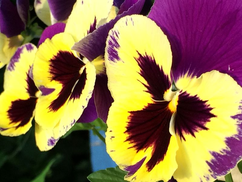 Pansies almost done