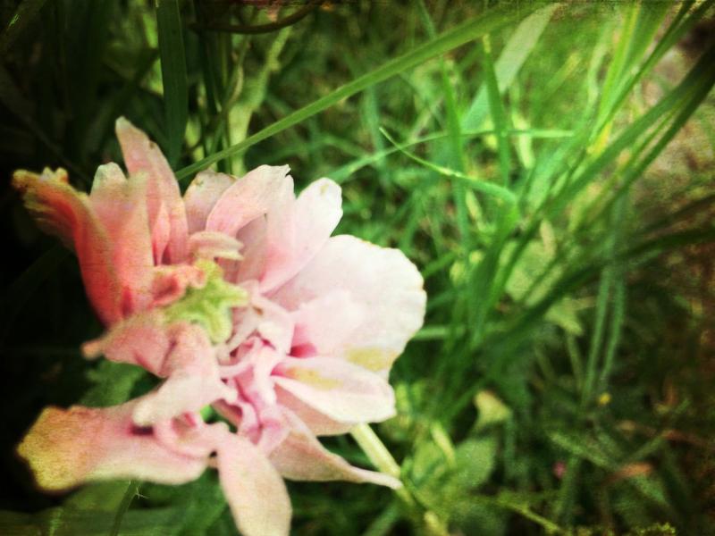 Altered poppy
