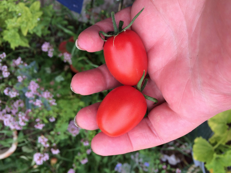 2 first tomatoes