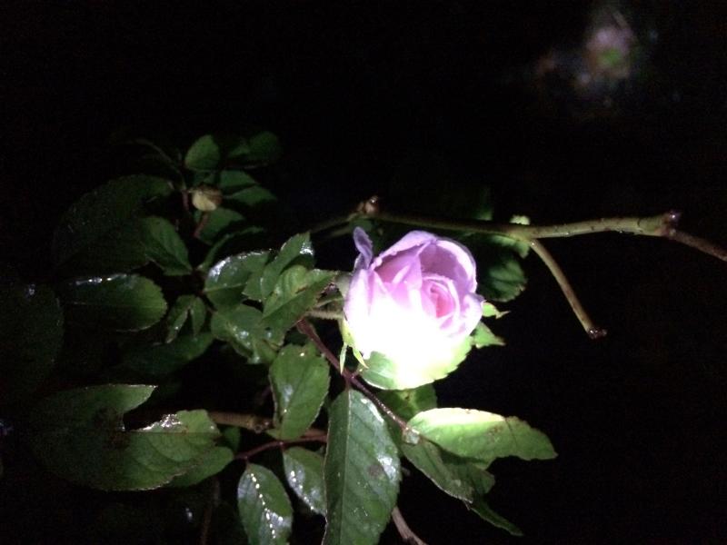Rose by flashlight