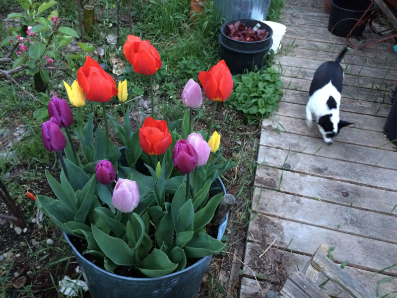 Tulips open with light and close at dark