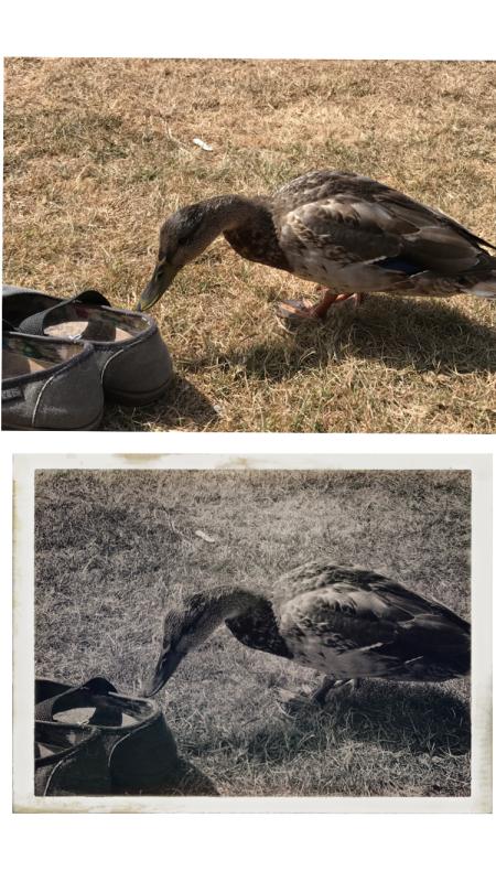 begging duck