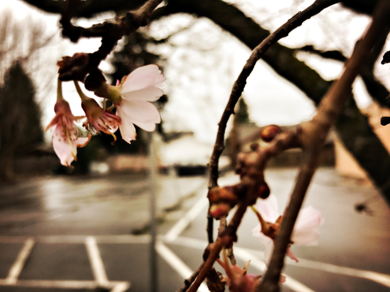 january blossom