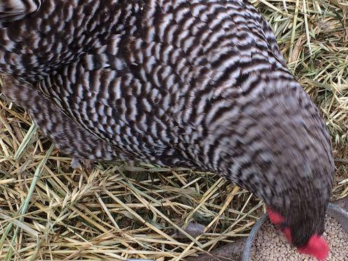 Chicken in motion
