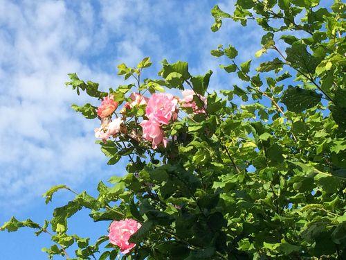 Roses in the hazelnut