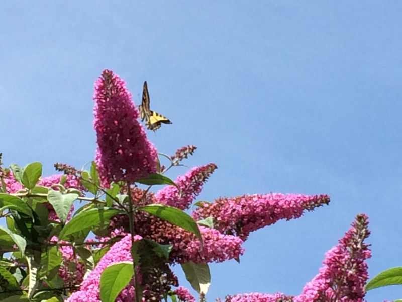 Swallowtail in the butterfly bush