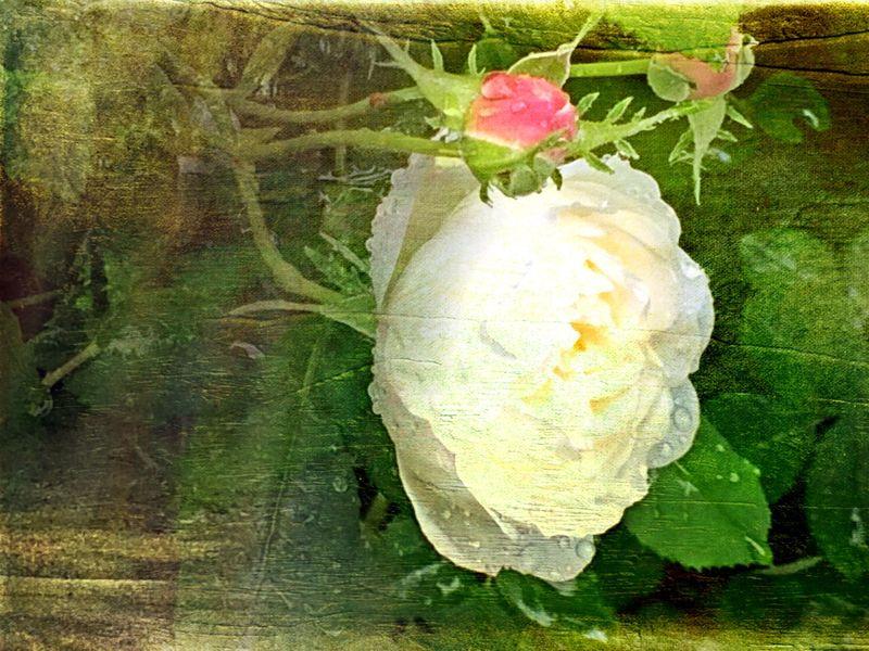 Ranch rose 3