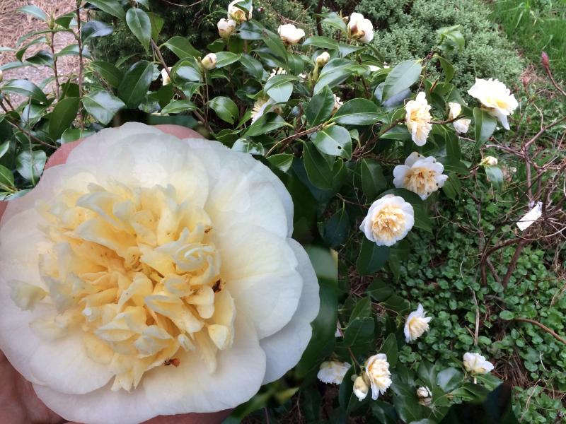 The camellia