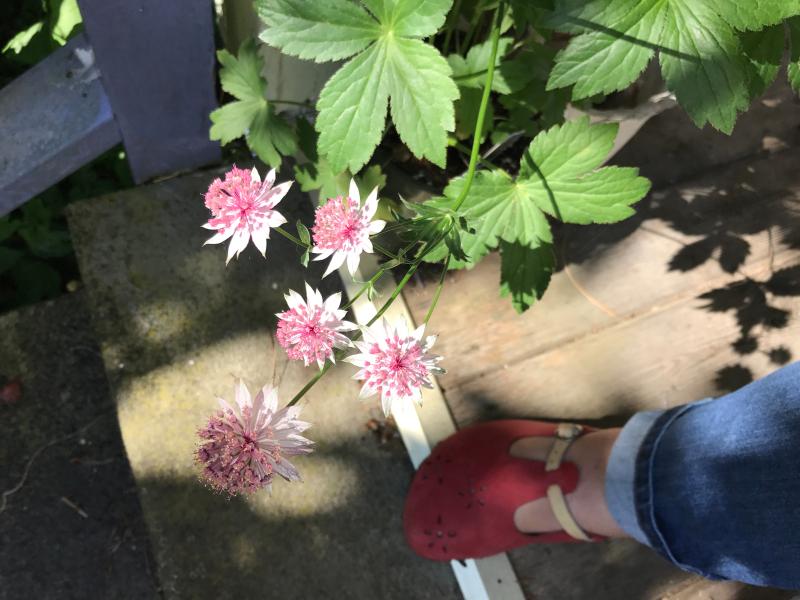 back outside to the garden, masterwort
