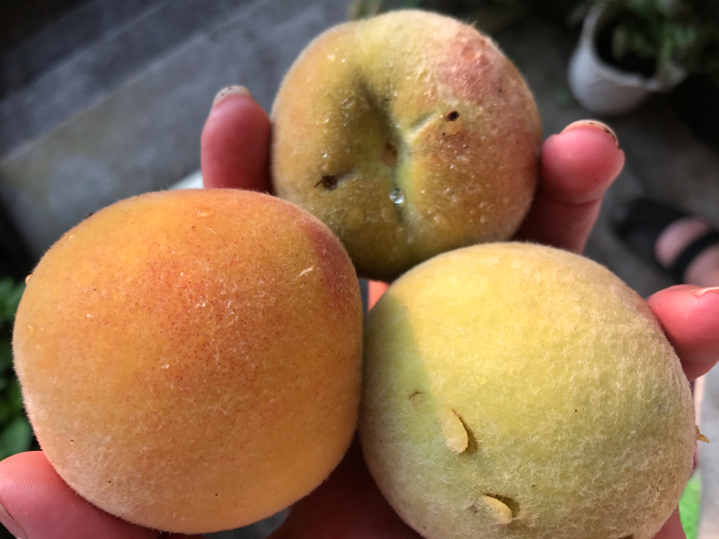 peaches from the garden