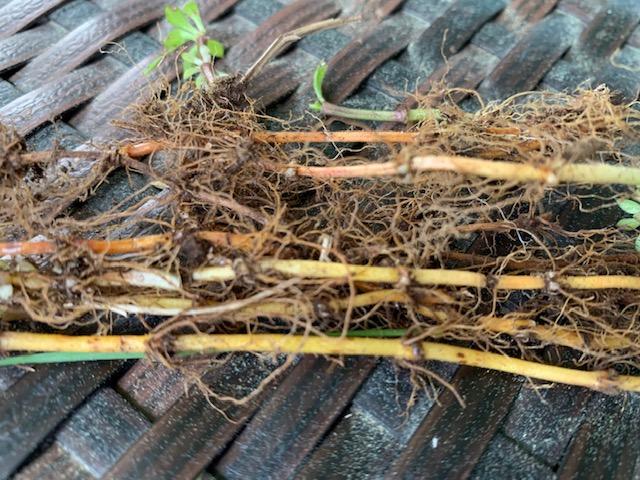 Sweet woodruff roots