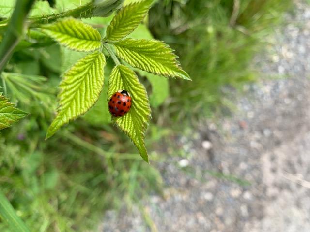 Ladybug on hop