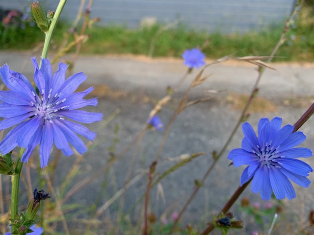 Chicory in the alley