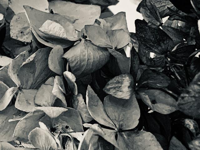 Hydrangea silvertone