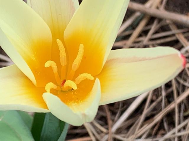 Kaufmania Tulip