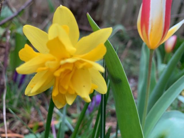 Fierce daffodil