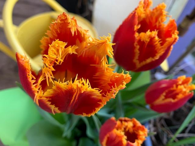 Fringe tulip