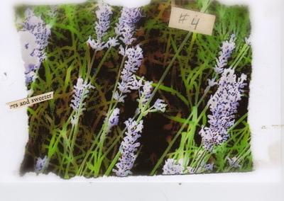 Lavender247